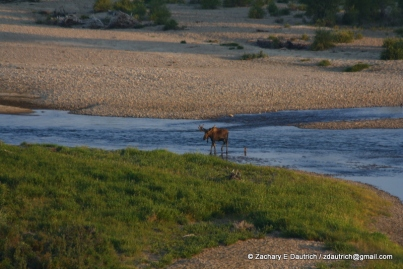 bull moose / New Fork River WY