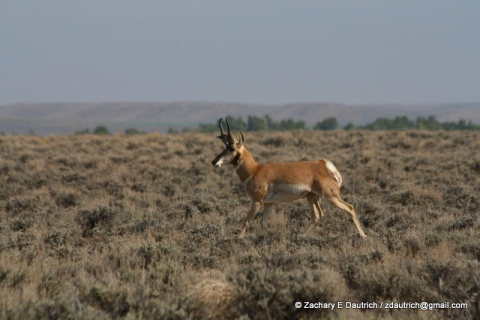 pronghorn antelope / Sublette County WY