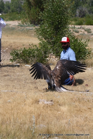 bald eagle release 02 / New Fork River WY