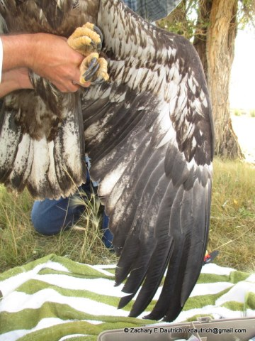 bald eagle exam 02 / New Fork River WY