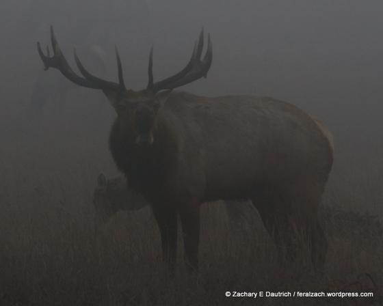 bull elk calling!!