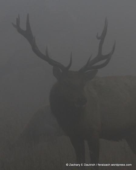 bull elk 03