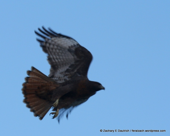 rufous morph red-tailed hawk in flight / Berkeley CA