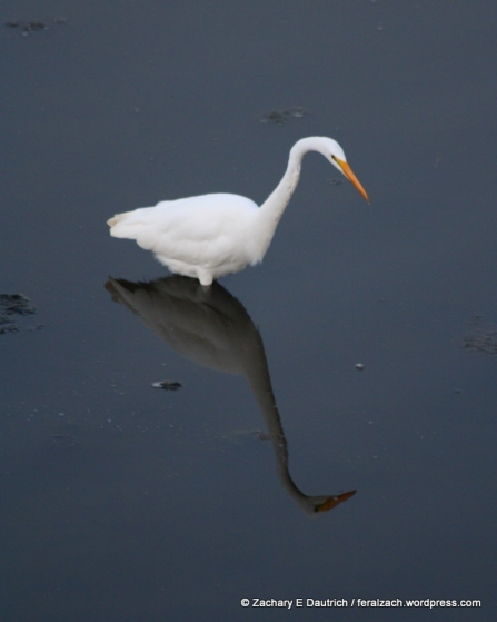 great egret / Berkeley CA