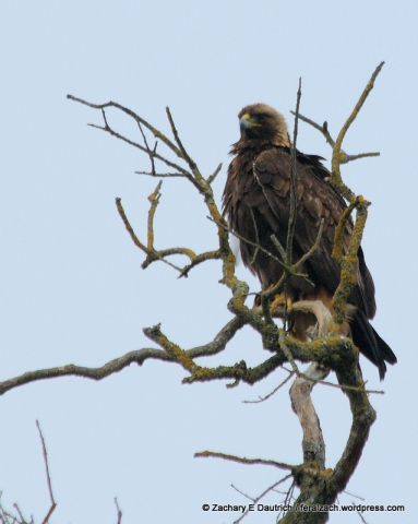 golden eagle / Mount Diablo Nov 2011