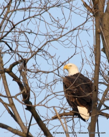 adult bald eagle 01