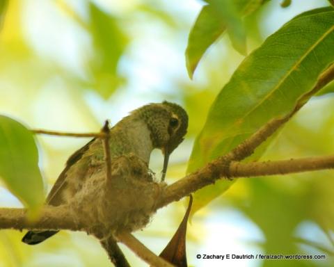 Anna's hummingbird building nest