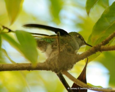 Anna's hummingbird in nest