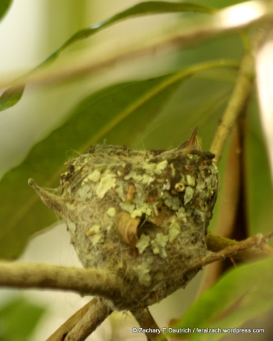 Anna's hummingbird nest and hatchling