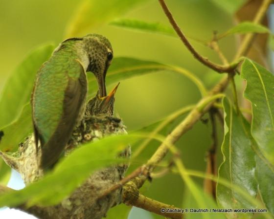 feeding time / Anna's hummingbirds