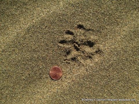 Virginia opossum tracks