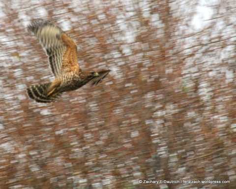 red-shouldered hawk and willows