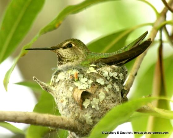 annas hummingbird on nest