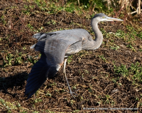 great-blue heron