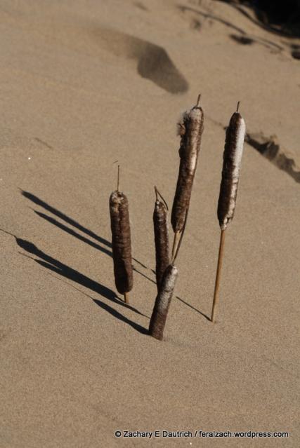 cattails in sand dune