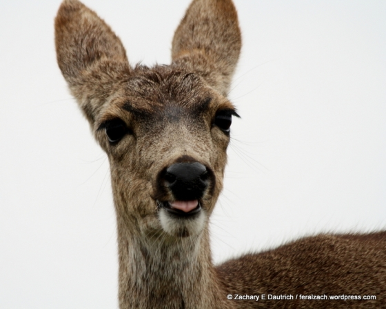 young black-tailed mule deer