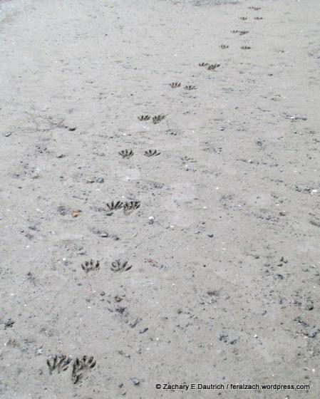 raccoon walking trail