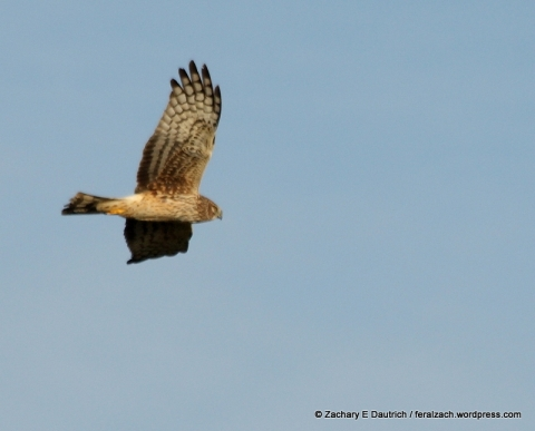 female Northern harrier / Sonoma Coast CA