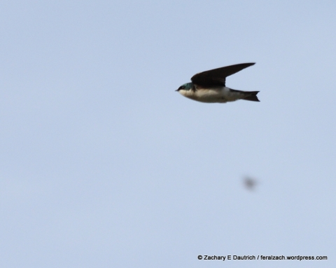 tree swallow / Russian River Sonoma County CA