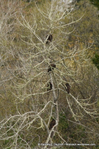 vulture roost / Russian River Sonoma County CA