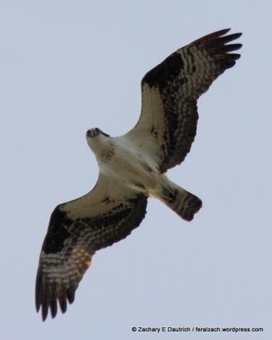 osprey / Russian River Sonoma County CA