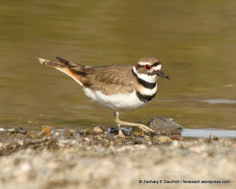 killdeer / Russian River Sonoma County CA