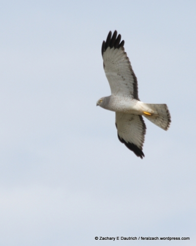 male Northern harrier / Sonoma Coast CA