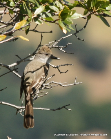 ash-throated flycatcher / Mount Diablo State Park