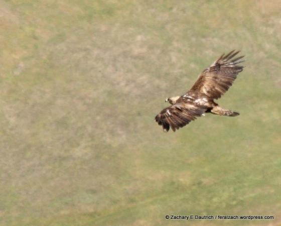 adult golden eagle / Mount Diablo State Park