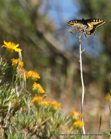 Anise swallowtail butterfly / Mount Diablo State Park