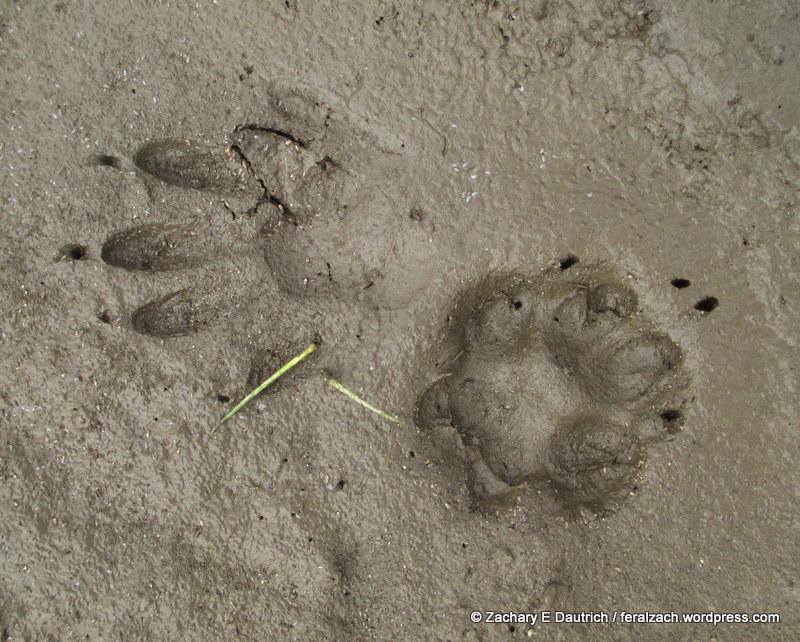 gray fox | feralzach