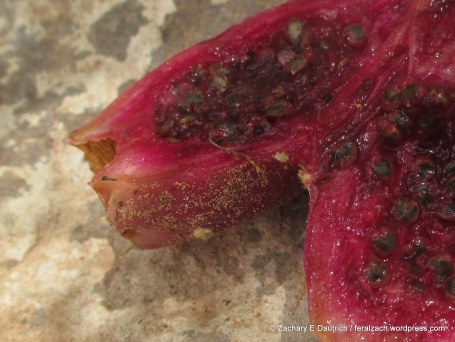 fruit of the brown-spined prickly-pear cactus (cut open)