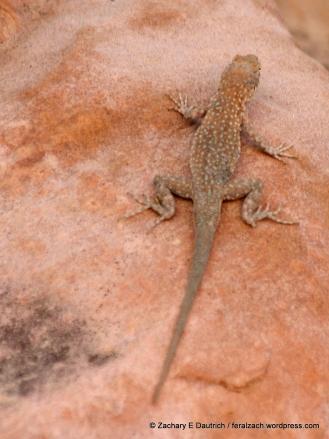 desert side-blotched lizard