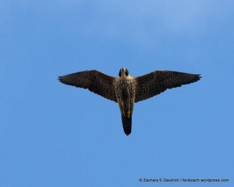 juvenile Anatum peregrine falcon