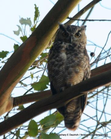 great-horned owl / Wildcat Canyon El Cerrito, CA