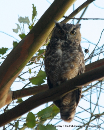great-horned owl / Wildcat Canyon El Cerrito, CA
