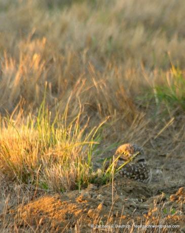 female burrowing owl / Cesar Chavez Park Berkeley, CA