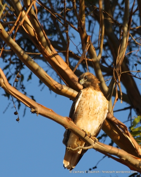 red-tailed hawk / Richmond, CA