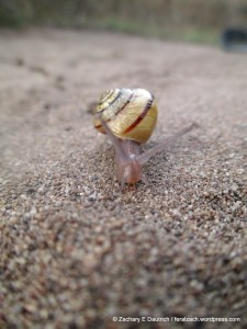Morro shoulderband snail