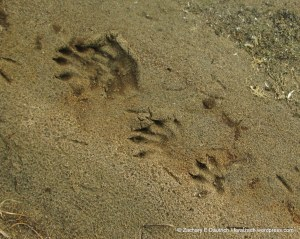 north american river otter tracks