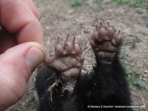 spotted skunk front feet
