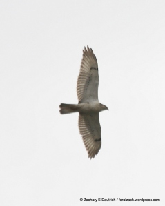 a ferruginous hawk