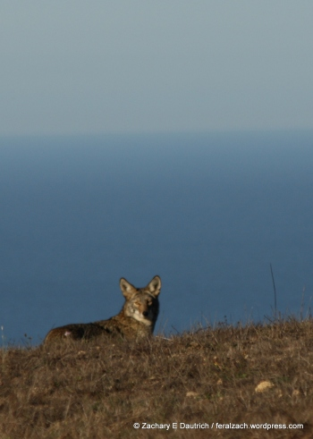 coyote and the Pacific