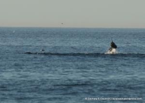 breaching sea lion