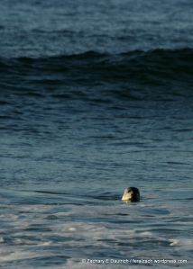 harbor seal in the surf