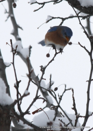 Eastern bluebird / Lancaster County, PA