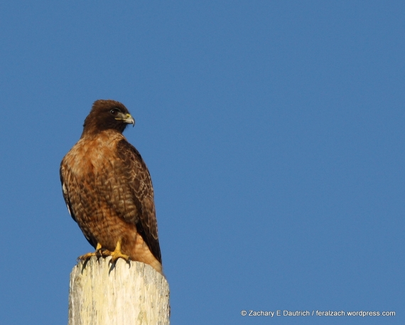 red-tailed Hawk (intermediate morph)
