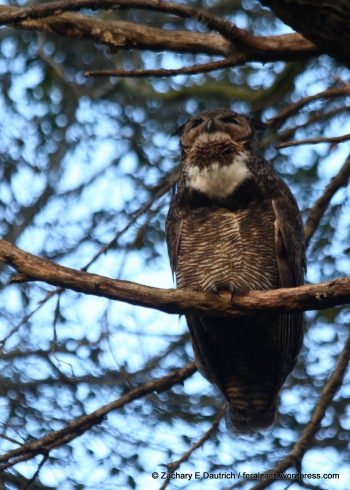 great-horned owl hooting