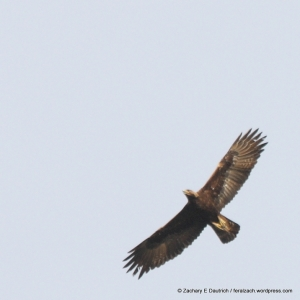 adult golden eagle