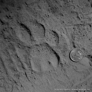 female puma track